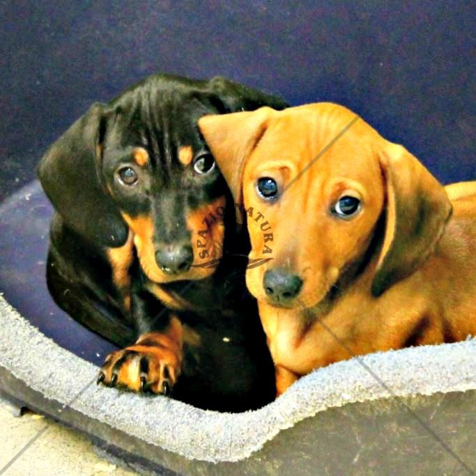 Cane Docile Da Appartamento: Le razze di cani pi affettuosi la classifica pourfemme.